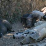 schweinehitze